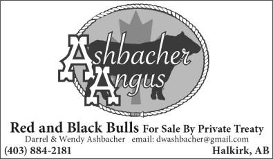 Ashbacher Angus Red and Black Bulls for sale by private treaty